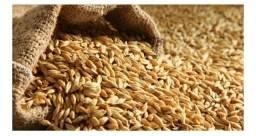 Vendo grãos de cevada pura