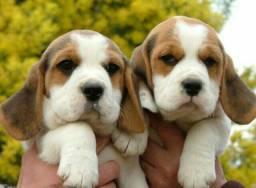 13 Polegadas!!! (Beagle) Filhote com Pedigree e Garantia de Saúde