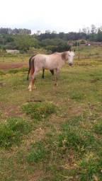 Cavalo Tordilho Manso 6 anos