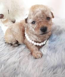 Poodle Micro toy abricot fêmea