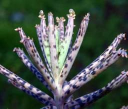 Kalanchoe delagoensis - Mãe de Milhares ( suculenta )