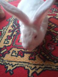 Coelha de olhos vermelho