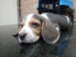 Último beagle macho disponível por apenas $1.750,00