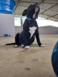Filhote de American stafforamerican staffordshire terrier
