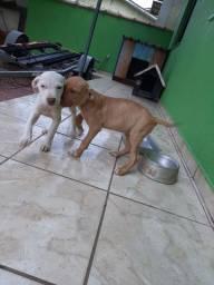 Ultimos Filhotes De Pitbull Tenho Pai e Mae No Local