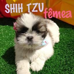 Shihtzu Fêmea na promoção venha conferir nossas variedades