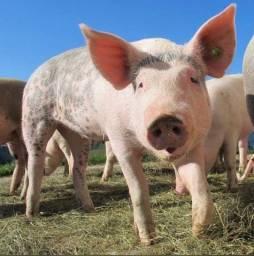 Duando um porco
