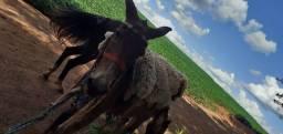 Vendo burro ariado burro de cela é carroça  dócil
