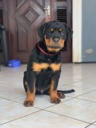Filhote top de Rottweiler com 3 meses e meio