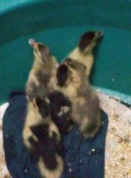 Patos (ultimos