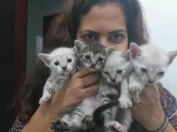 Estou doando 4 filhotes de gatos ciames c angorá