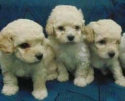 Poodle mini n1 macho