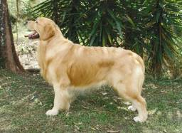 Golden Retriever Negro