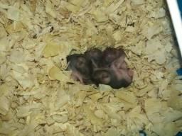 Hamster chinês cinzas com bege