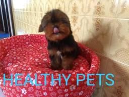 Yorkshire Terrier padrão CBKC