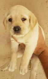 Labrador - 5 lojas próprias - whtasap (11) 95215-9536- Jean