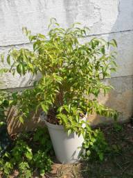 Vendo muda jabuticaba