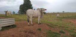 Estância JM vende touro a campo, nelore mocho PO, avaliação genômica PMGZ