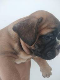 Promoção 1.100 bulldog francês macho