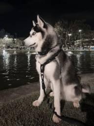 Husky Macho