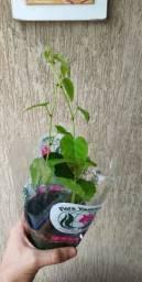 planta insulina vegetal