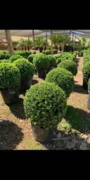 Plantas para jardins e Reflorestamento