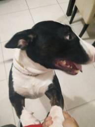Bull terrier procura namorada