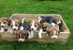 Vendo belissimos filhotes de Beagle (femea disponivél) com garantia de saúde