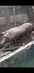 Porco 110 kl