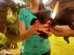 Doa-se dois gatinhos pretos