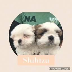 Shih-tzu com pedigree e microchip em ate 18x