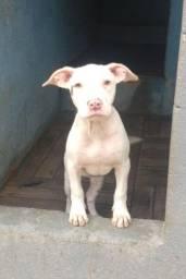 Pitbull fêmea filhote