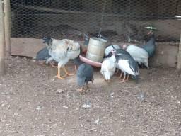 Casal de marreco casal de Patos e angolas