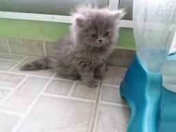 Vendo gatinha persa filhote