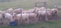 Vende-se lote de ovelhas Poll Dorset e sulfolk