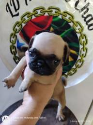 Baby Pug (reservas)