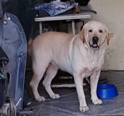 Labrador de 3 anos procura namorada