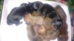 Filhotes de cofaps basset