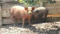 Doando um porco