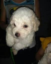 Filhote de poodle macho $:250