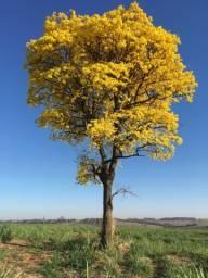 Mudas de espécies cinco espécies diferentes de ipê-amarelo