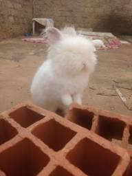Coelhas adultas raça Angorá