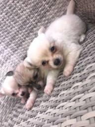 Chihuahua fêmeas e machinhos já vacinados com todas garantias em contrato
