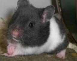 Hamster sírio em Luziânia