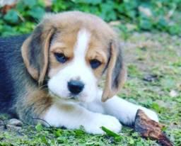 Os Mas Lindos!!! Beagle 13 Polegadas Filhote com Pedigree e Garantia de Saúde