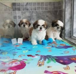 Fofinhos filhotes de Mini Shihtzu só Machos