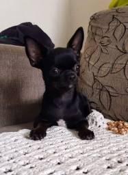 Chihuahua fêmea 1 ano perfeita