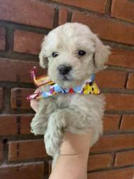 Baby Poodle (macho)
