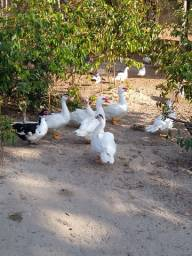 Patos e galinhas
