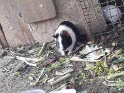 Porquinhos da india